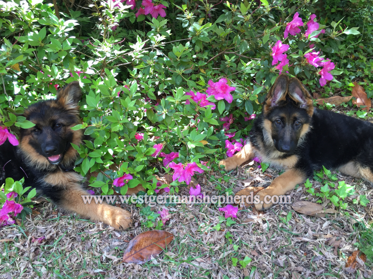 sisters:osa (left) sports a gorgeous long coat black trimmed in red.sandy (right) has a luxurious standard double coat in tri-color:black with red & tan highlights