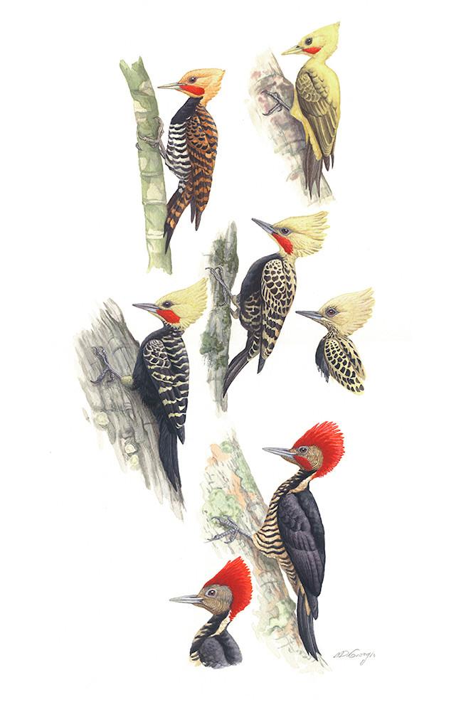 Part of series 'Birds of Brazil Vol.2' by Michael DiGiorgio