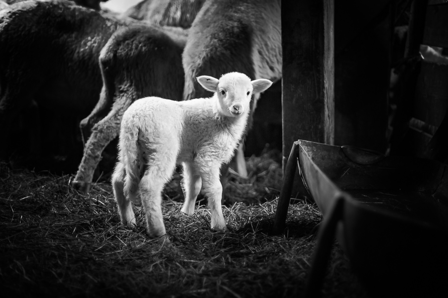 Polish Mountain Sheep breed.  Two weeks young sheep portrait in barn.