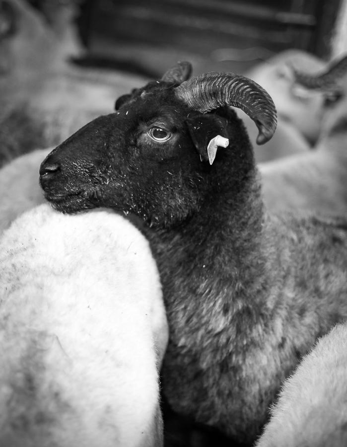 Polish Mountain Sheep breed color variety.  Ewe (yoe) portrait in barn.