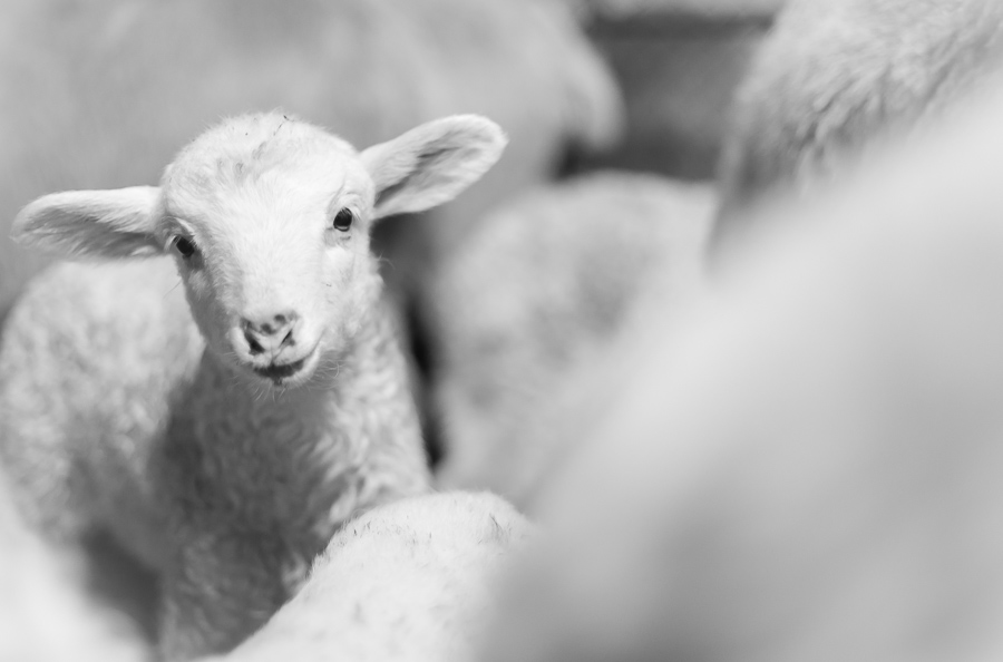 Polish Mountain Sheep breed color variety.  Young sheep in barn portrait.