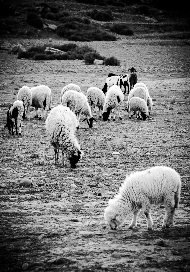 Moroccan Mountain (Berber,  Marmoucha  )breed.  Sheep grazing on the steppes in Atlas.