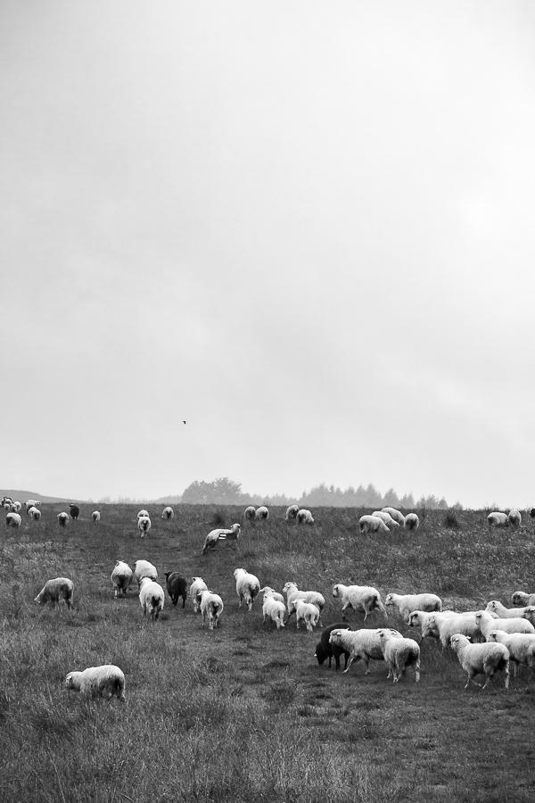 Polish Mountain sheep.  Sheep grazing in the High Tatras, Poland.