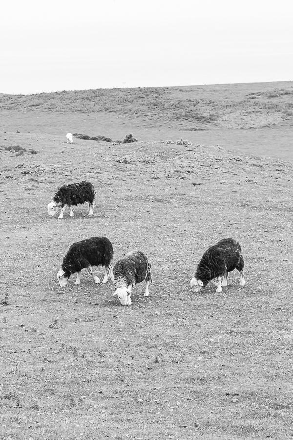 Herdwick breed.  Herdwick sheep from North Wales.