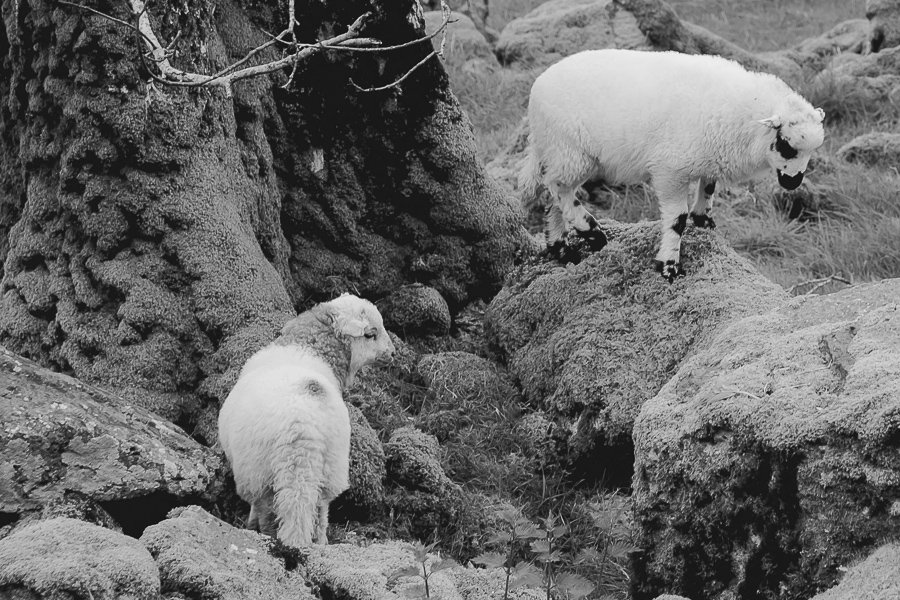 Welsh Mountain breed.  Welsh Mountain young lambs in North Wales.