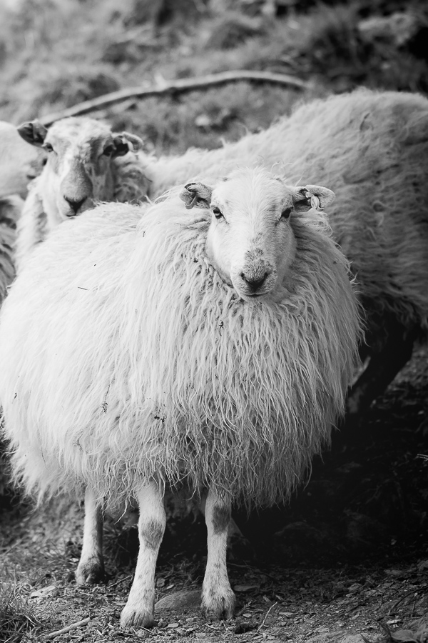 Welsh Mountain breed.  Welsh Mountain sheep in North Wales.