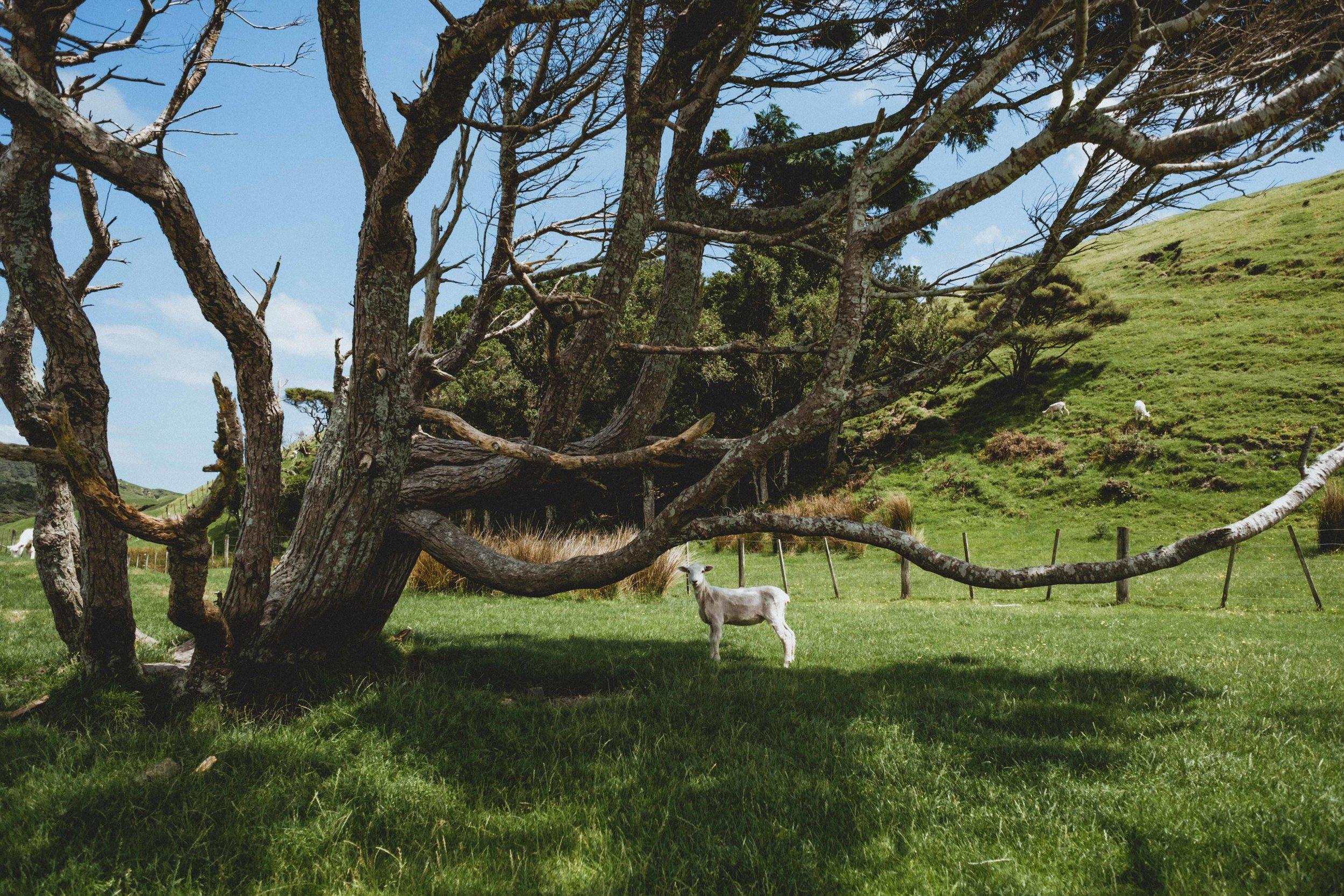 Un mouton sous un bel arbre, rencontré quand on traversait les collines pour aller vers la plage :)