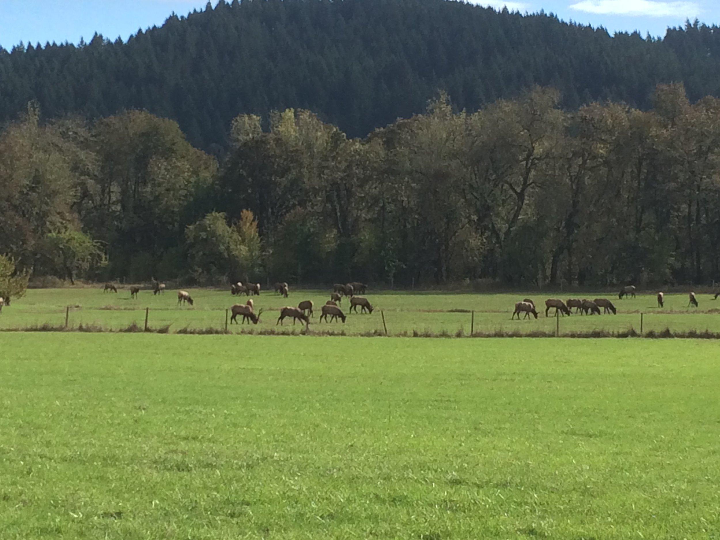 Roosevelt Elk in the Oregon Coast Range.