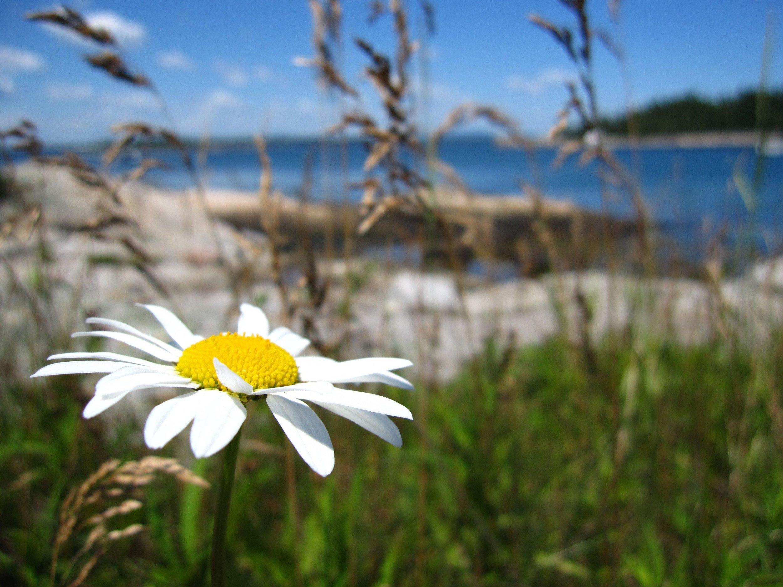 Daisy in Maine.jpg