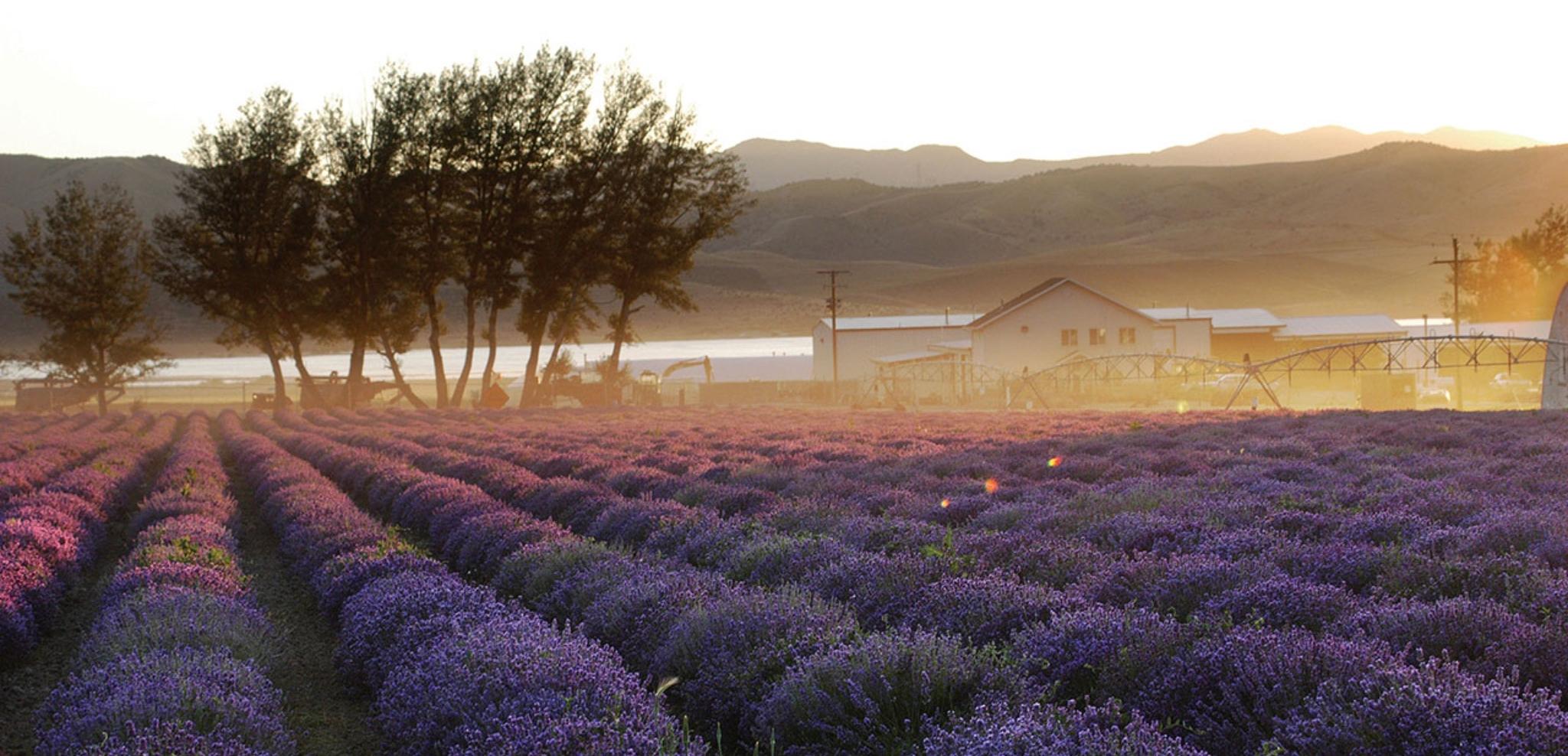 Lavender Fields prior to harvest
