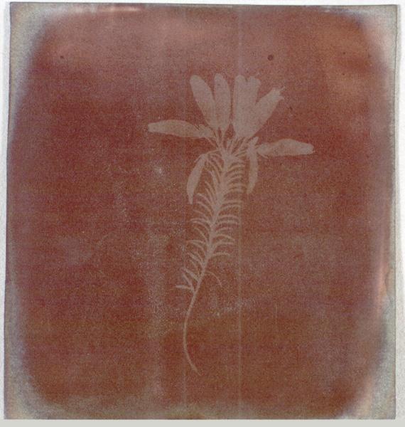"Henry Fox Talbot, ""Photogenic Drawing"" of Erica Mutabilis, 1839"