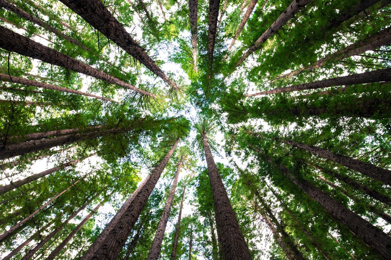 Enjoy the redwoods at Samuel P.