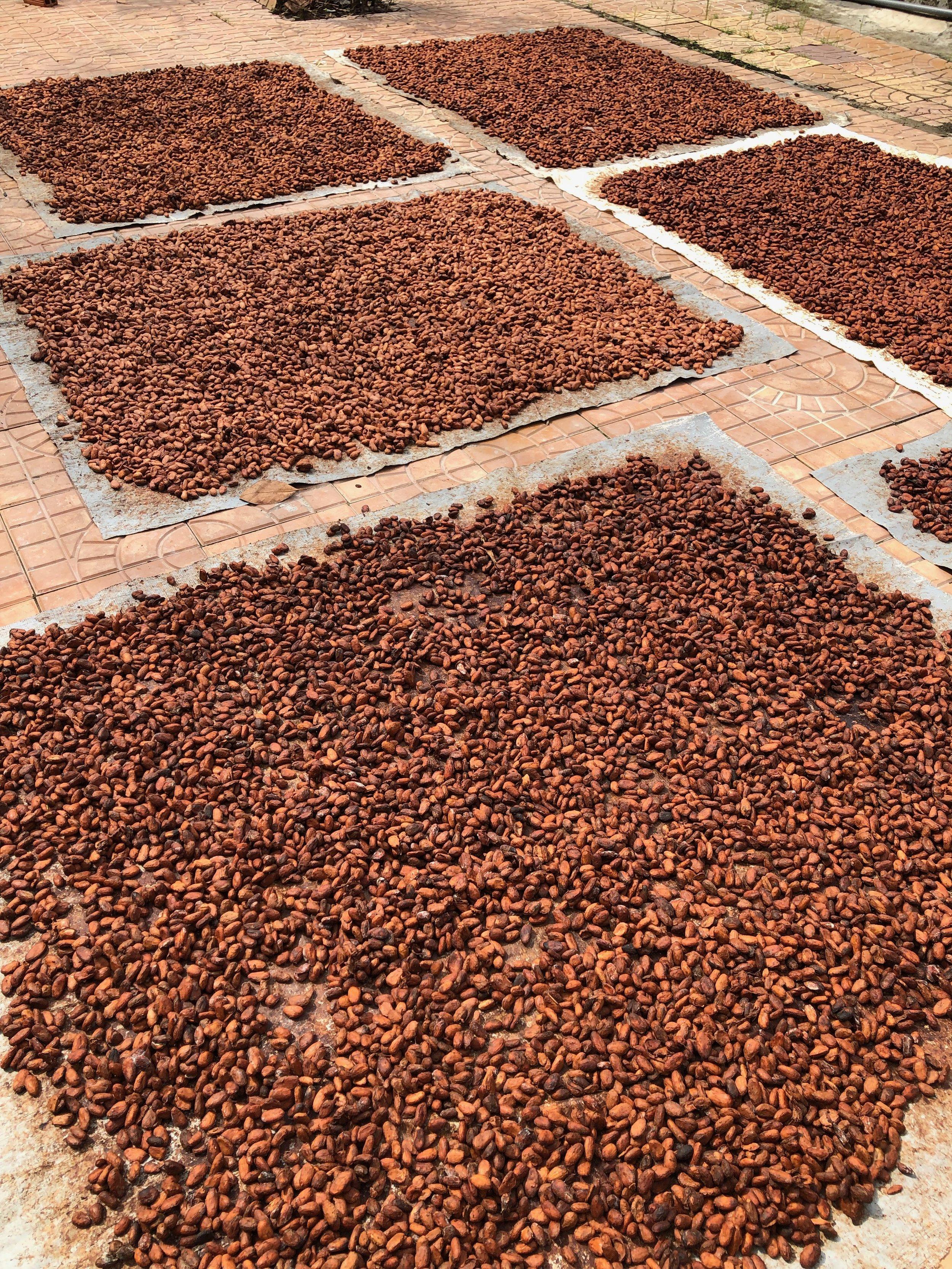Cacao farm
