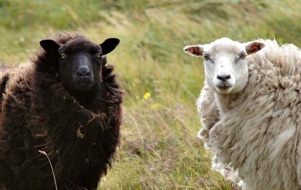 shetland-sheep.jpg