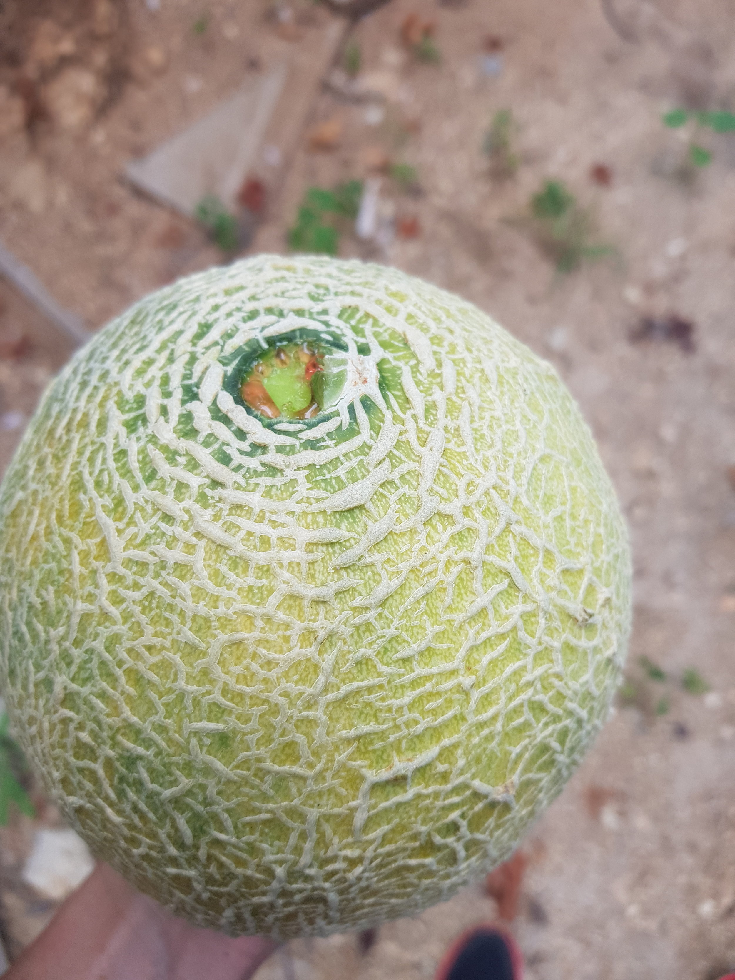 melon yummy