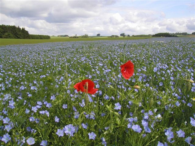 Turquoise blossoms of the flax plant, Skane, SWEDEN.