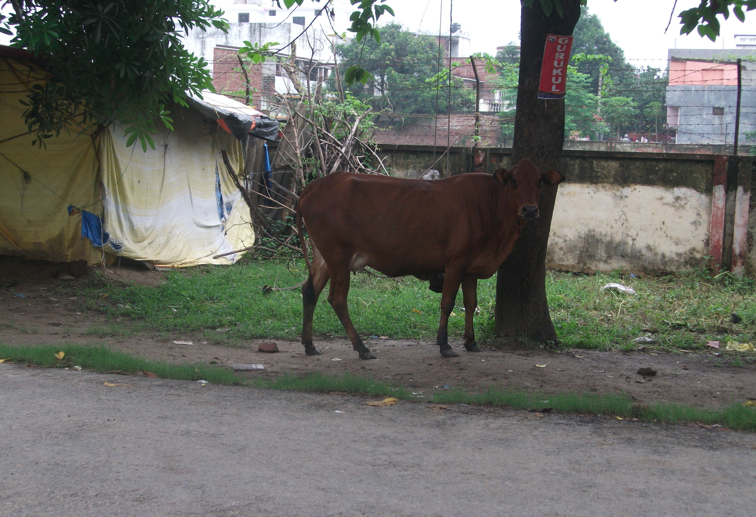 'Unphased'probably describes the cows best - many would sit in the middle of the road with traffic all around them.