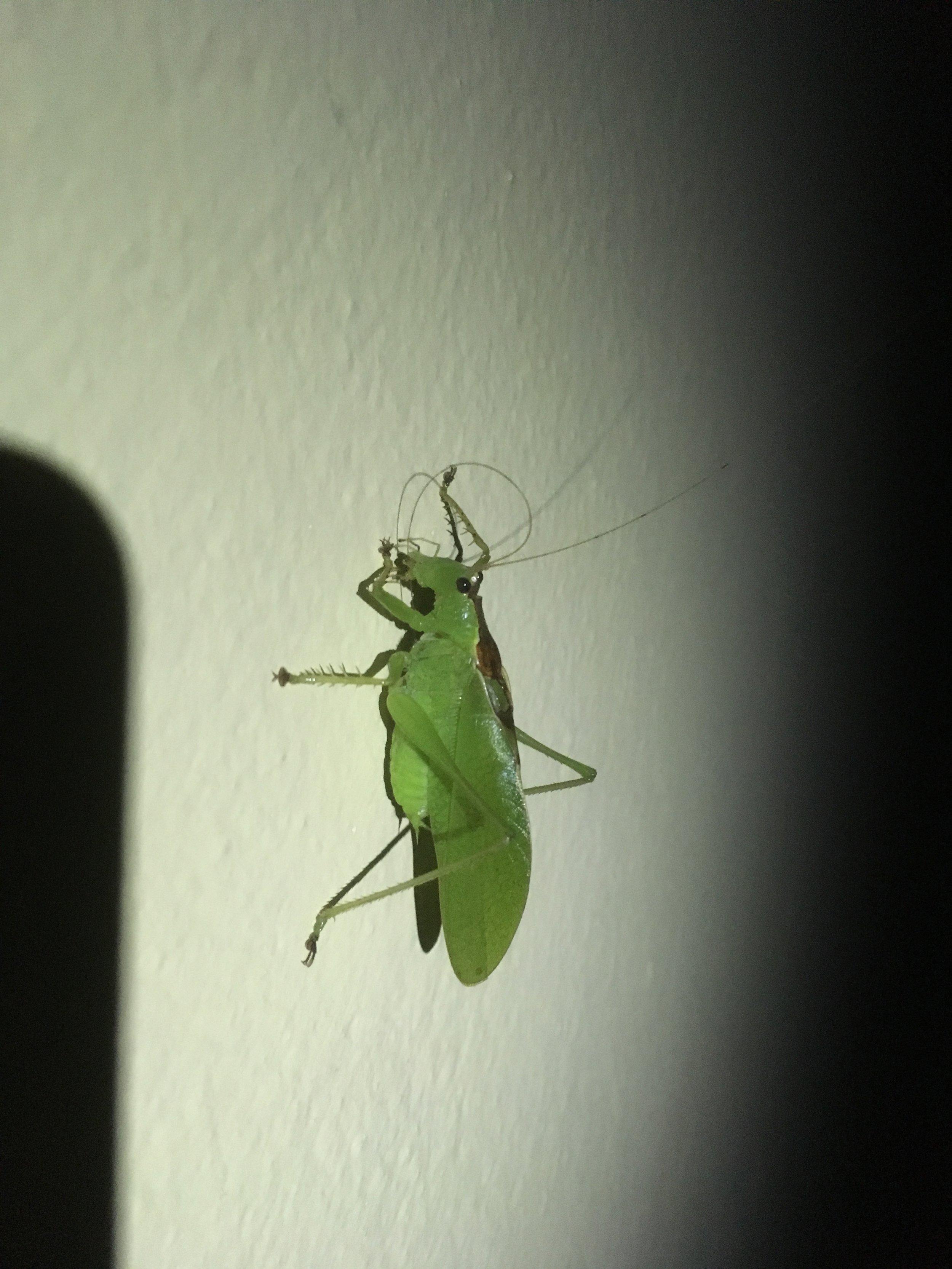 One mega grasshopper