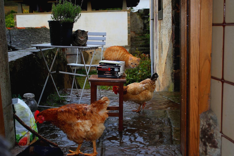 Mis ex gallinas con mis libros y mis gatos.