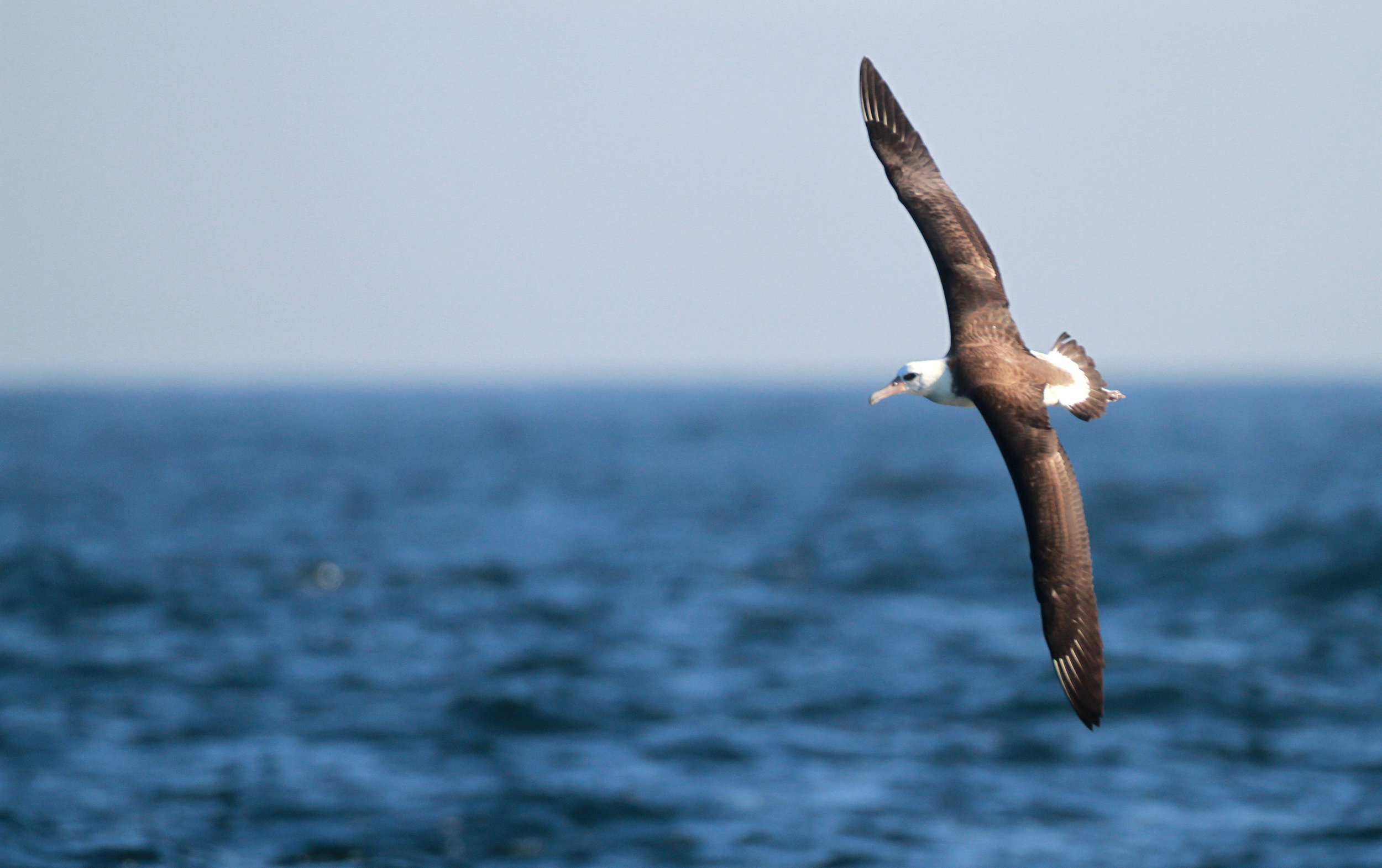 A Laysan Albatross over Monterey Bay; A Rare Sight from Point Pinos