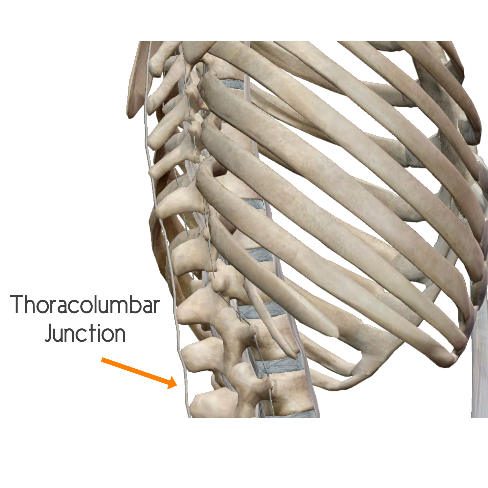 Thoracolumbar Junction is the space between the last thoracic vertebra and the first lumbar vertebra.