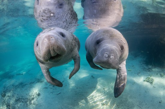 1.-Manatees-Please-site-VisitCitrus.com-Photographer-Carol-Grant-4Mar13_35-.jpg