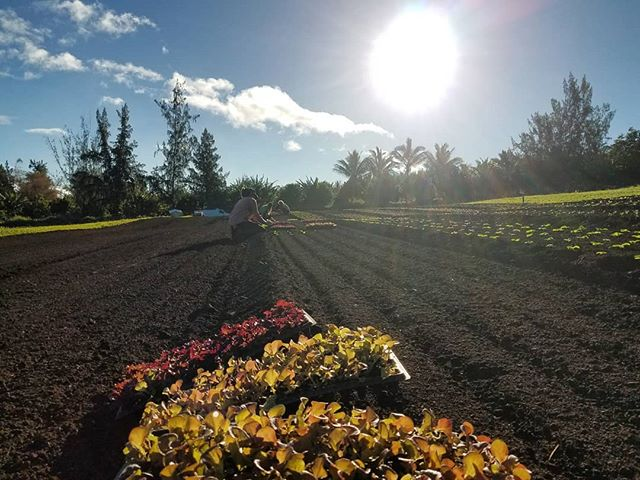 Happy New Year 🌎 We are still here in 2019 working hard for the Aina. . . . #bigisland #hawaii #hamakua #organic #produce #farm #farmlife #2019
