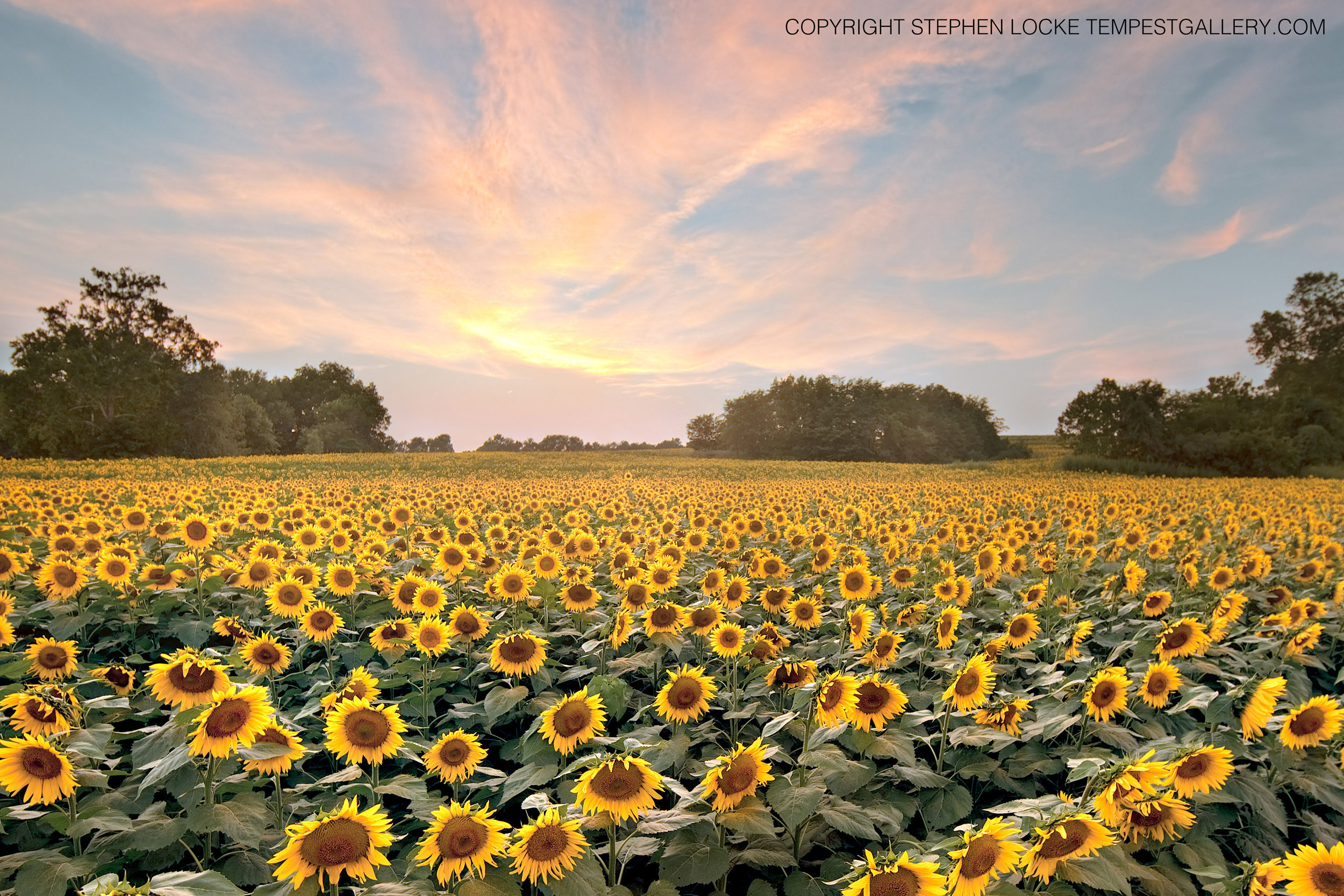 Eventide Helianthus by Stephen Locke