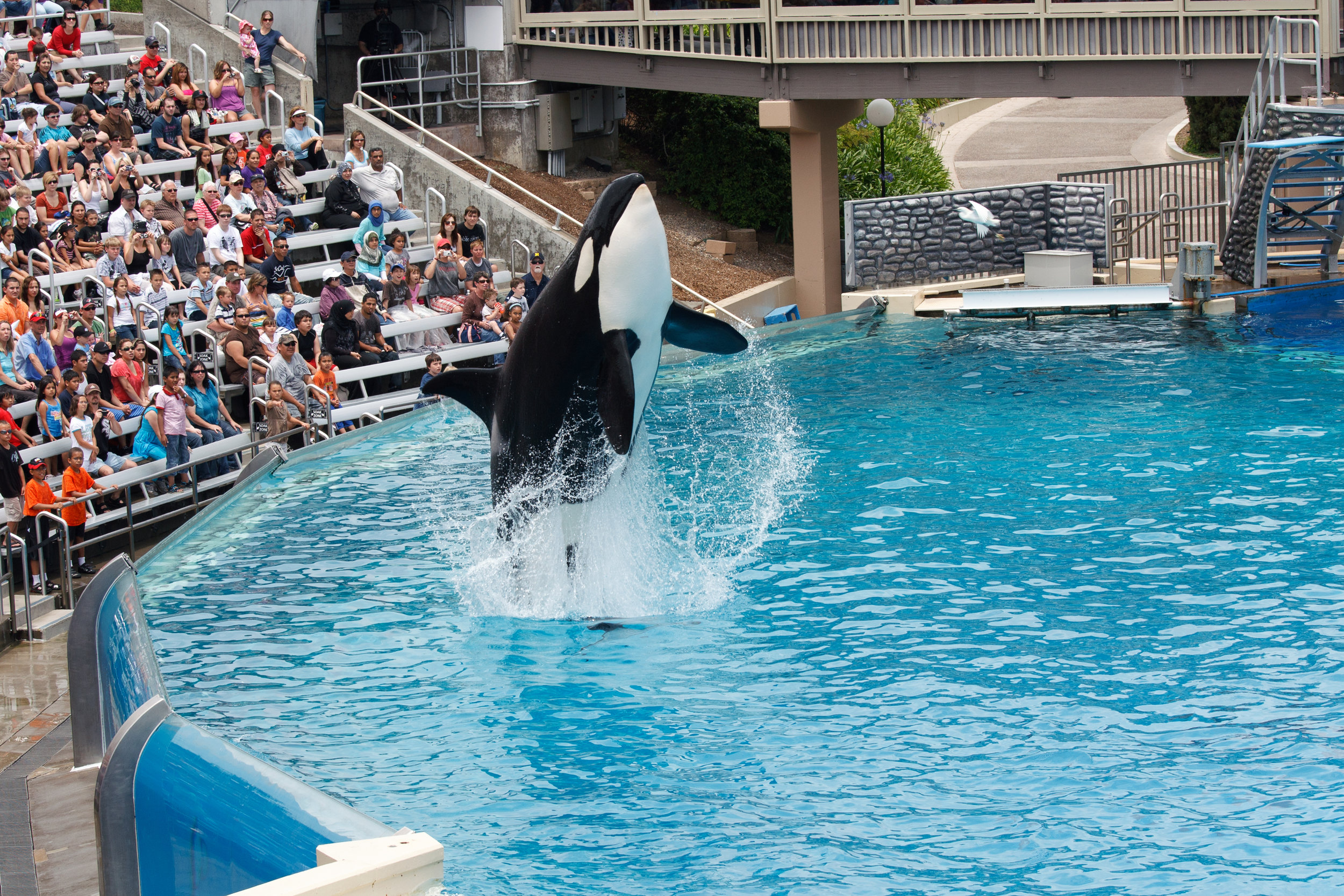 Killer Whale performing at Sea World San Diego Photo from Shutterstock via Whale Sanctuary Project.