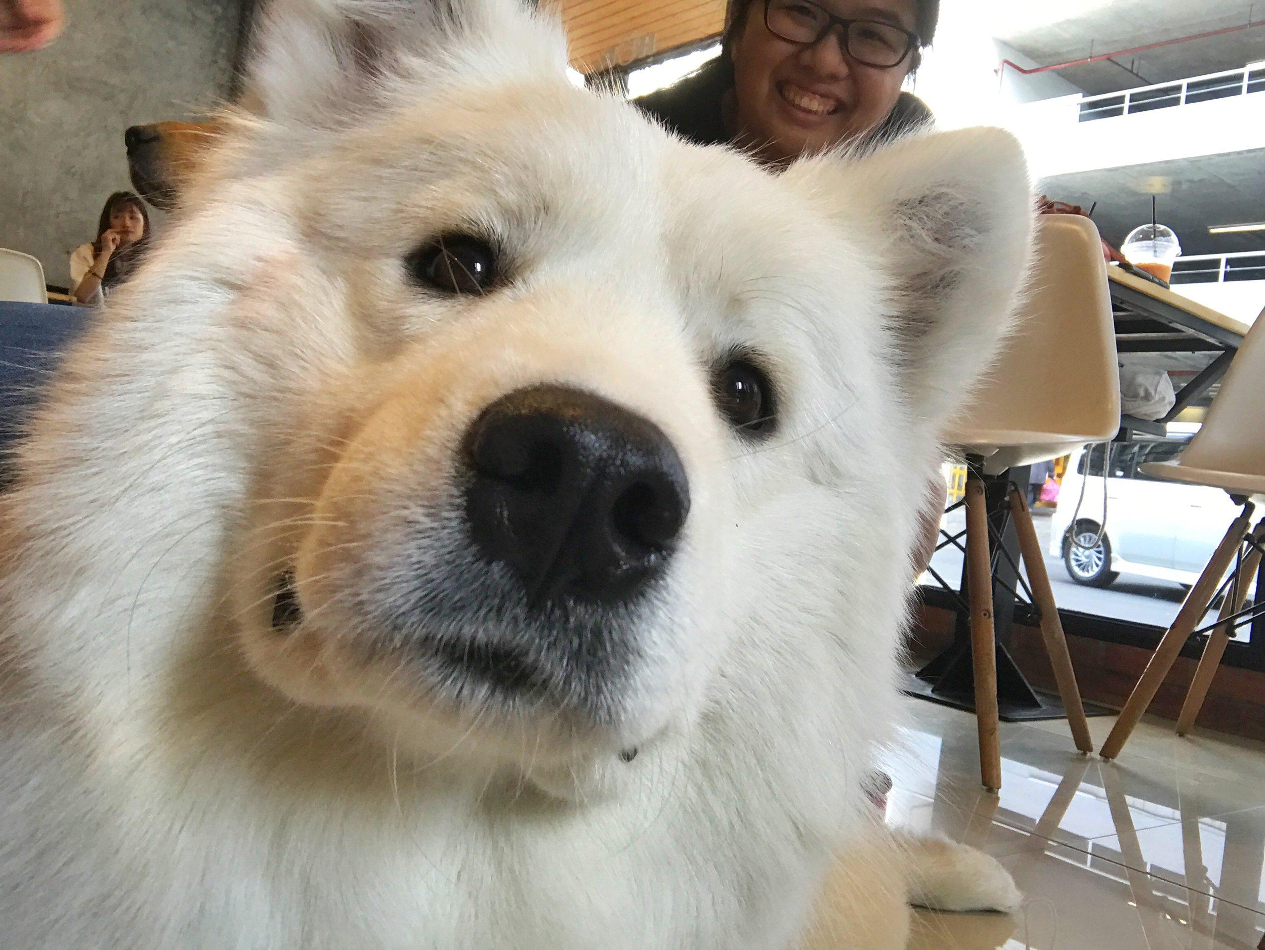 House of Paws (HOPs) Dog Cafe Bangkok samoyed