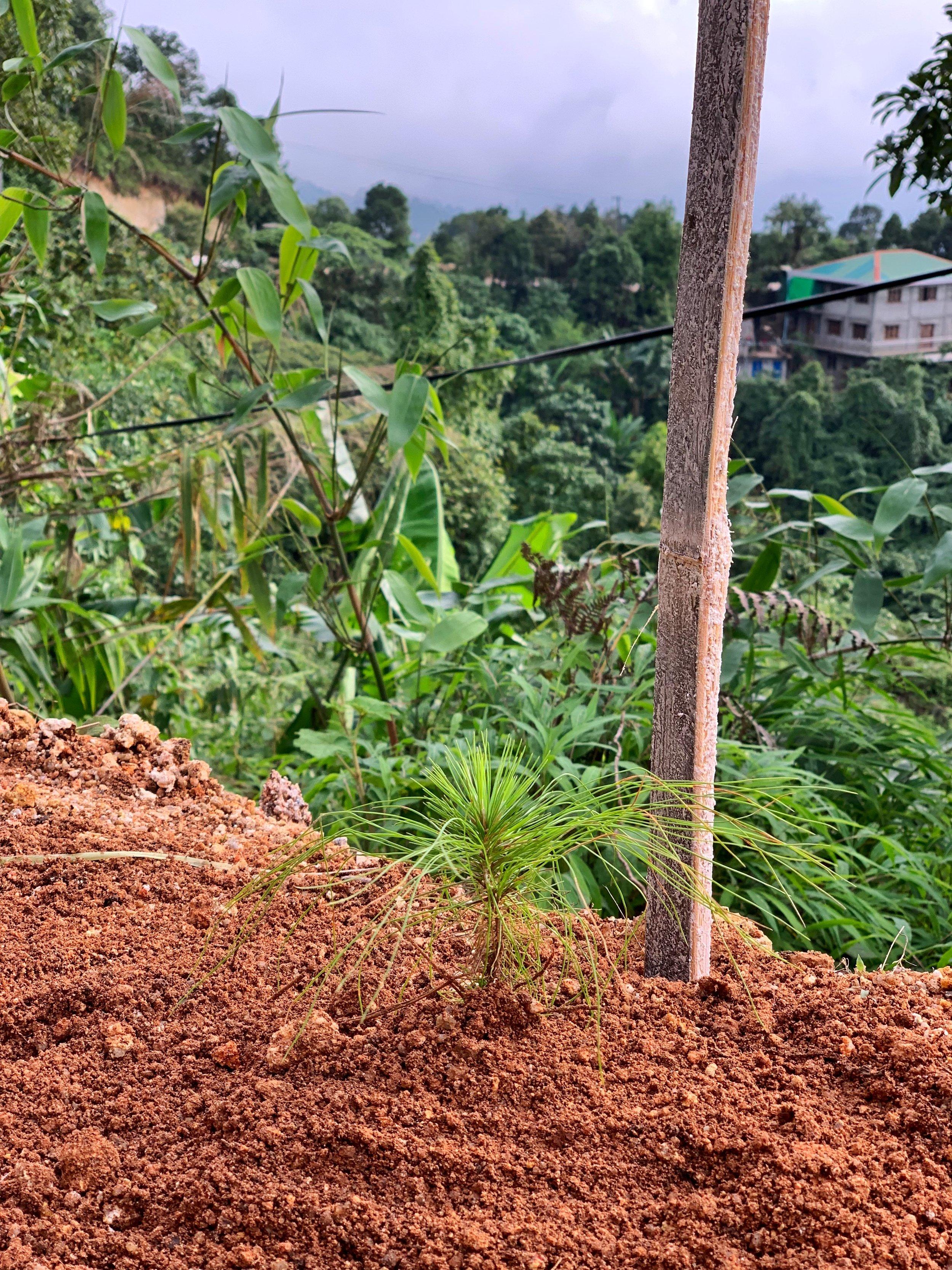 thandaunggyi myanmar tree planting