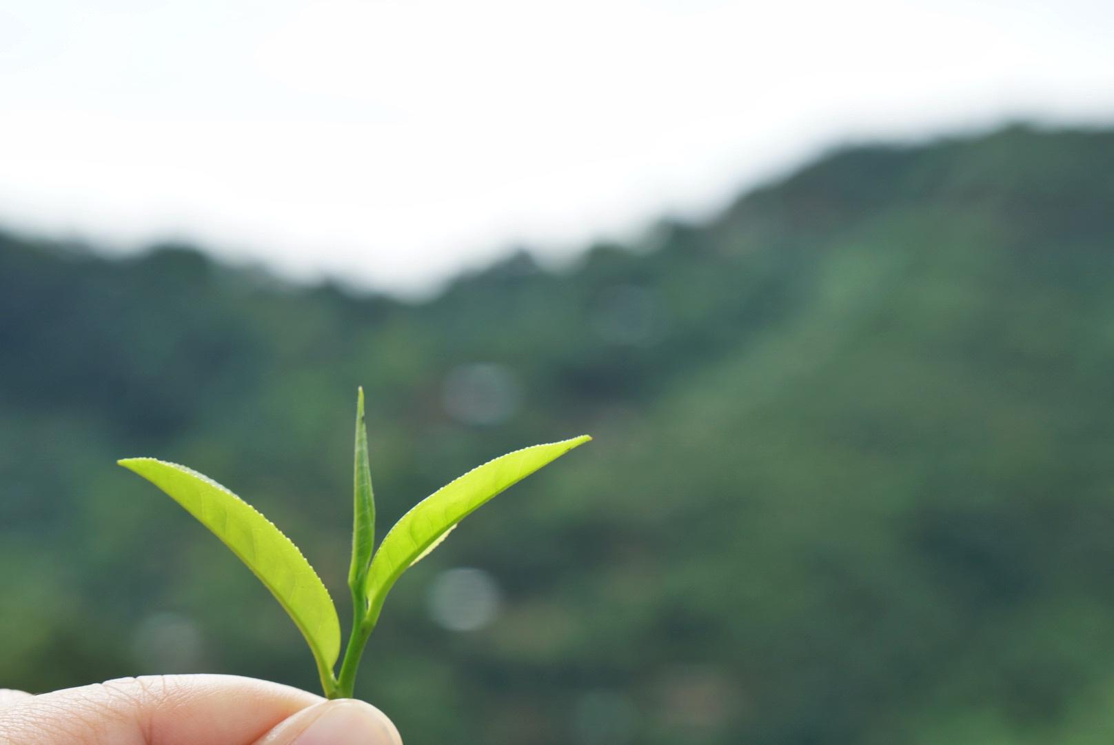 thandaunggyi myanmar tea plantation