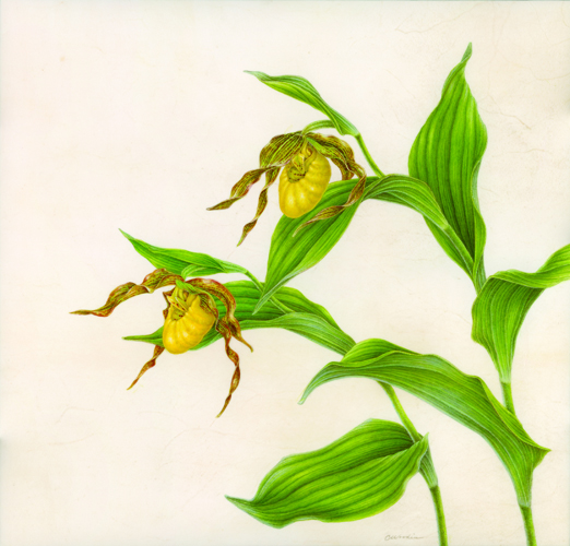 X.Woodin Cypripedium parviweb.jpg