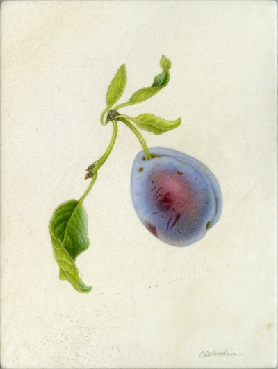 "Purple plum, watercolor on vellum 6"" x 5"""