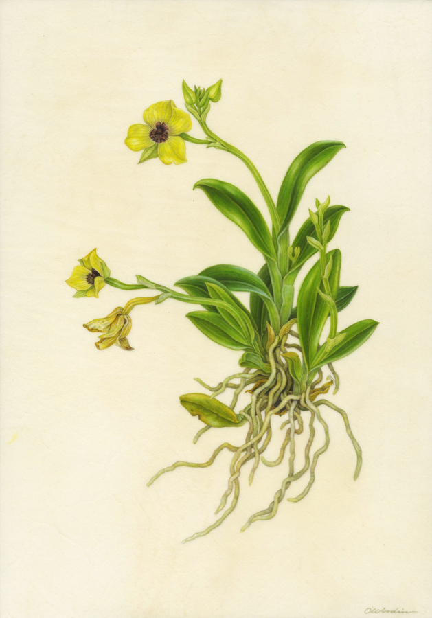 Telepogon hutchinsonii , watercolor on vellum over panel ©CWoodin 2014