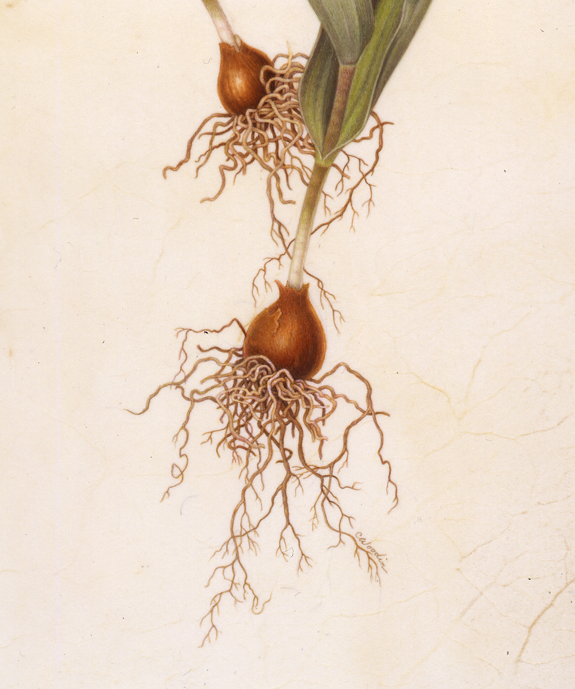 Cropped image of tulips, showing bulbs and roots. ©Carol Woodin