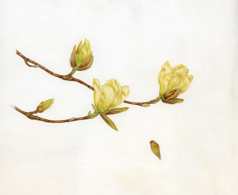 Yellow Magnolia,  Magnolia  'Elizabeth' watercolor on vellum