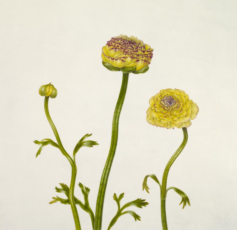 The Yellow Baton (Ranunculus)