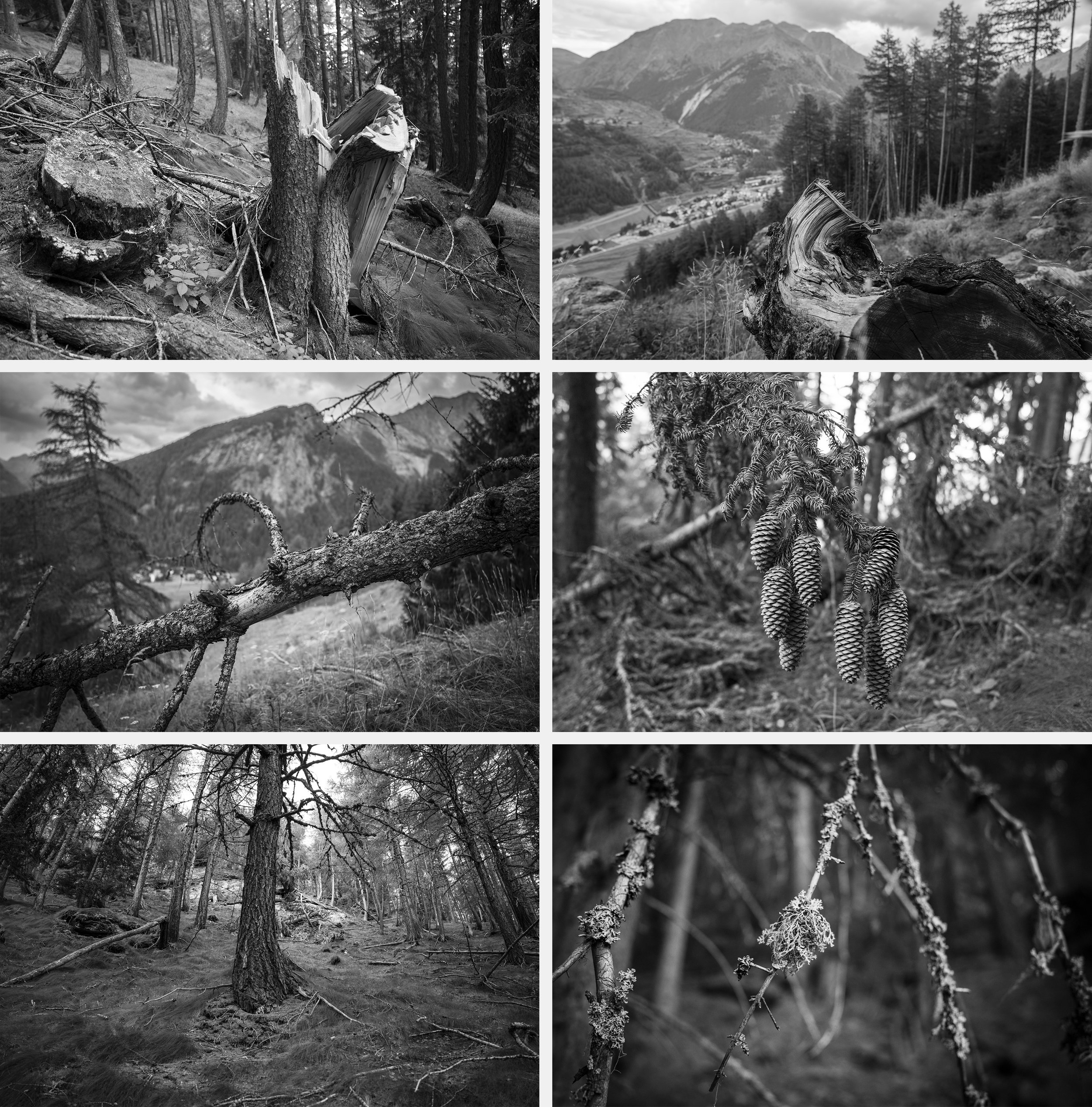 Felled and sick pine trees on the way to Punta Pousset. Because of increased temperatures the Alps have seen an increase in pine beetles that have eaten into the pines, killing them. Drought has also increased the risk of forest fires and killed trees because of lack of water.