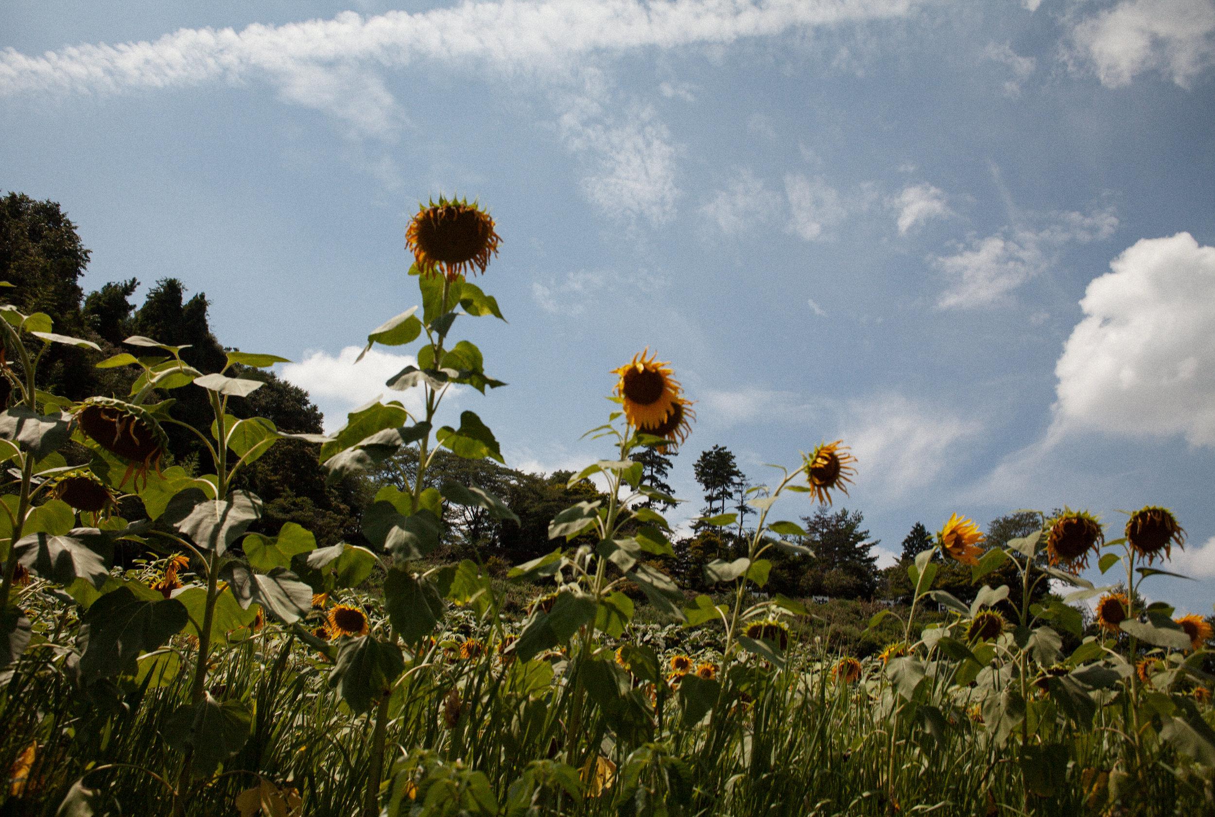 ヒマワリは かなしき花と なりにけり 汚染の土地に あまた咲きいてsunflowersnow have becomeflowers of sorrow –so many are bloomingon polluted land - 美原 凍子 (福島県 2011年9月)Toko Mihara, Fukushima September 2011