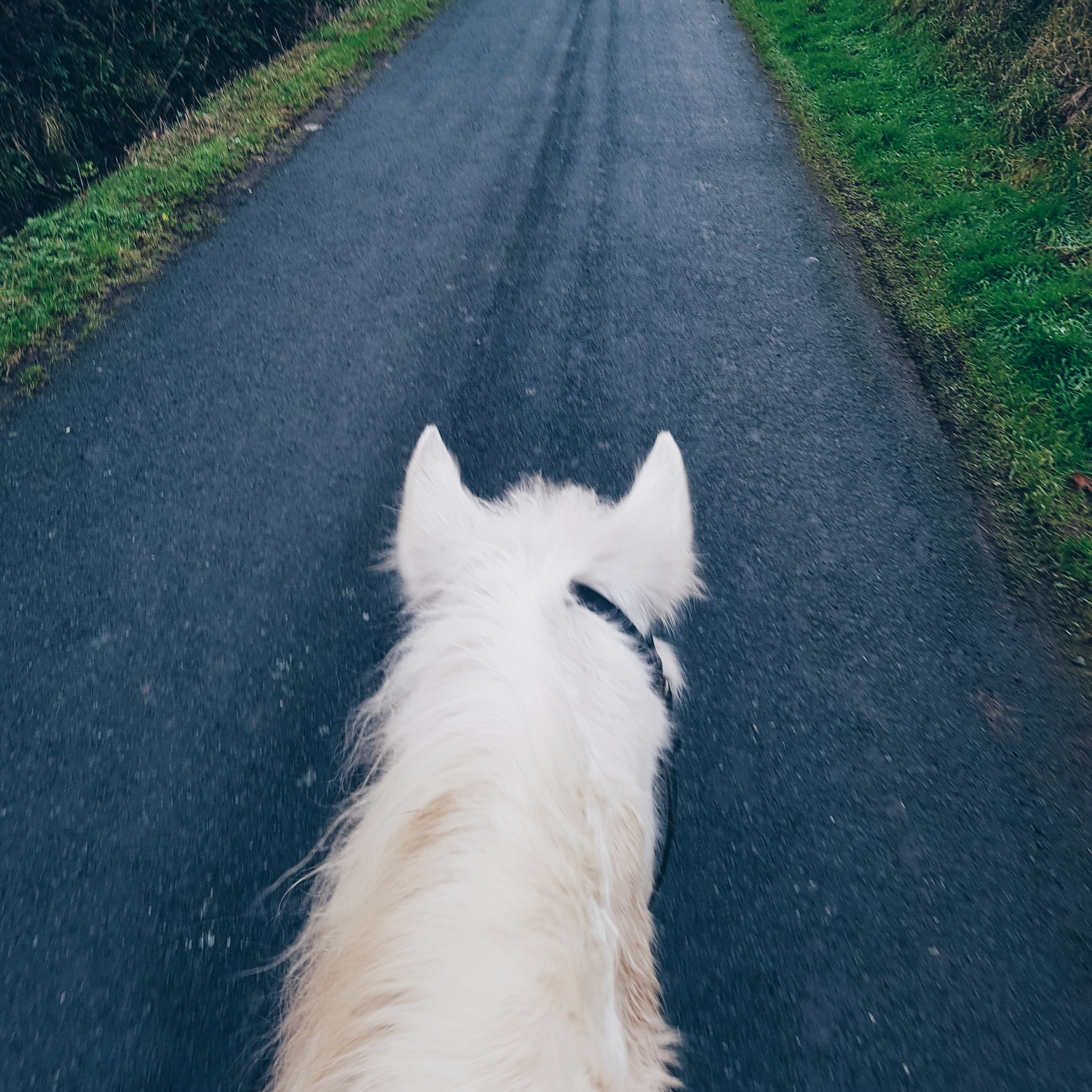 White horse on a road.