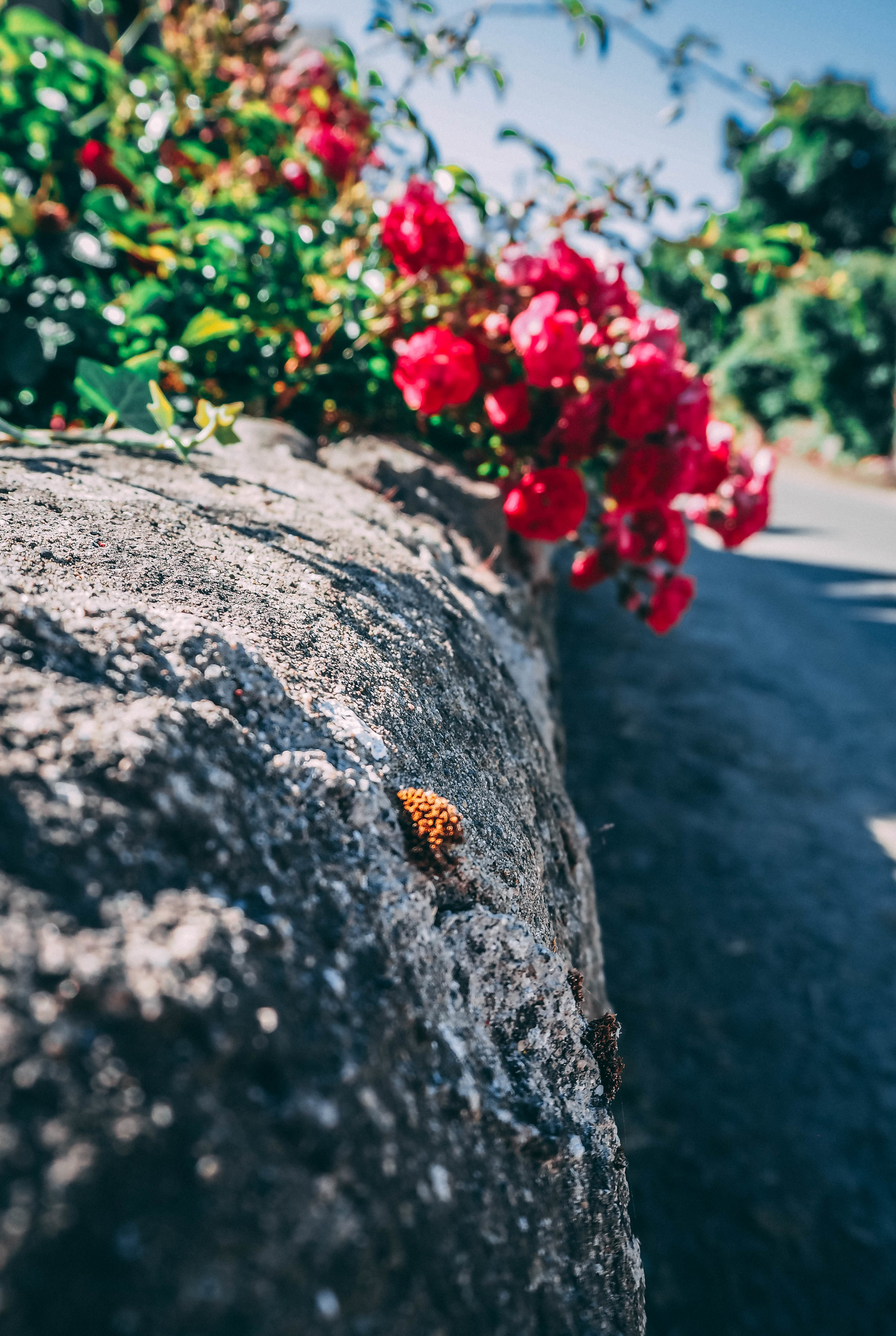 Red Flower on a stone wall.