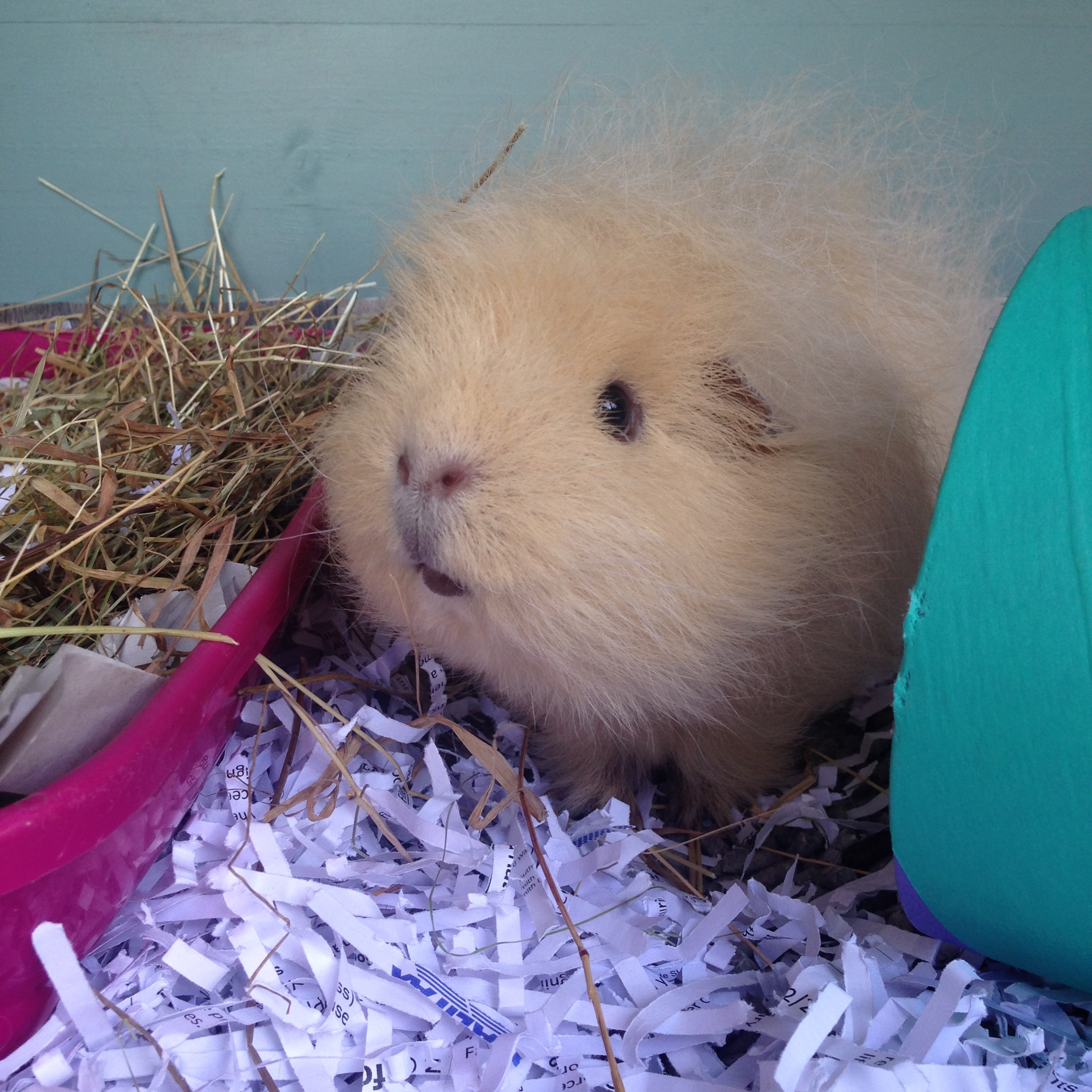 Holidaying guinea pig in one of our hutches