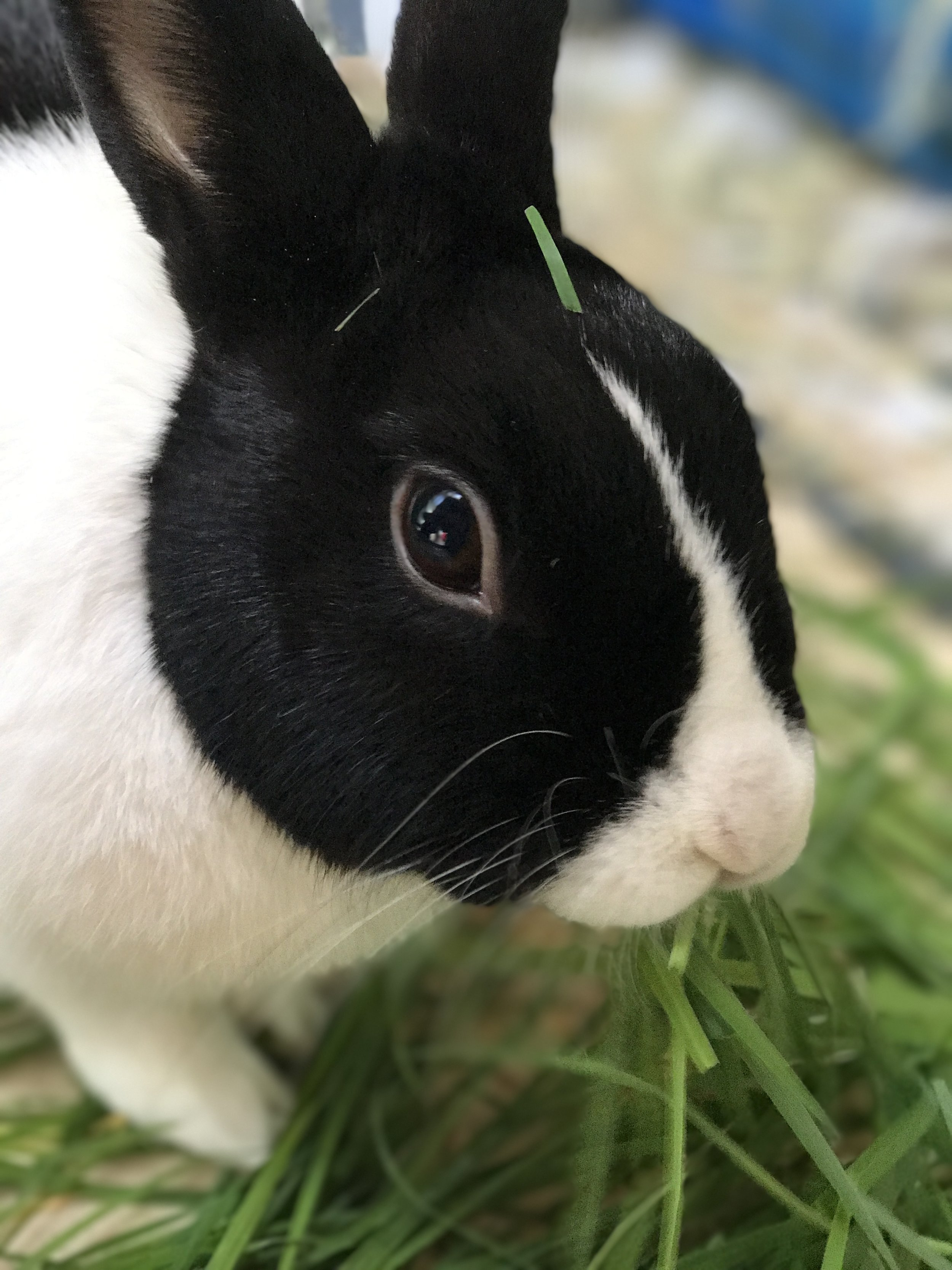 Our current long term boarder Thomas enjoying some freshly picked grass.