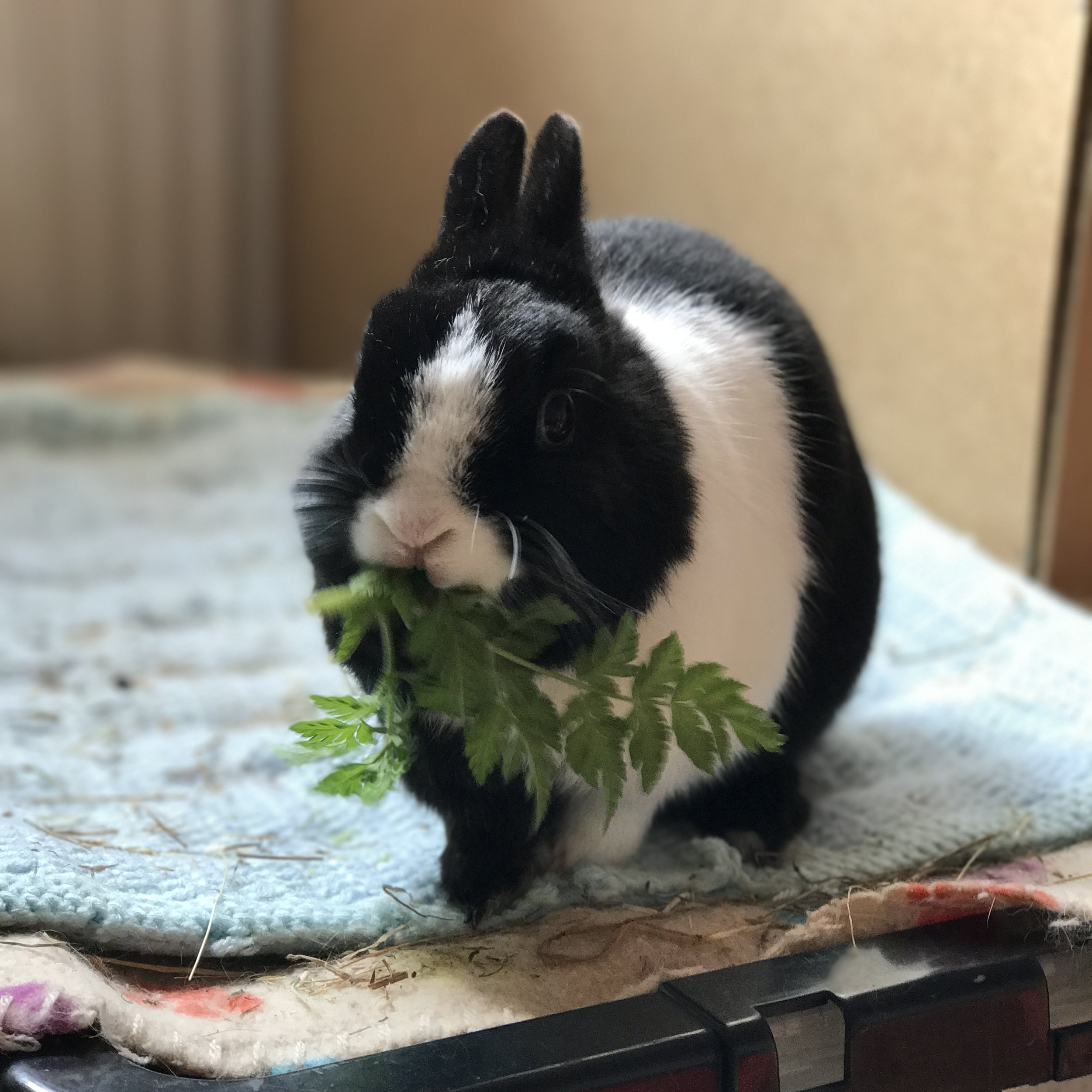 Little Nutty, one of Lauren's own rabbits, tucking in to a healthy snack of cow parsley (foraged from her woods).