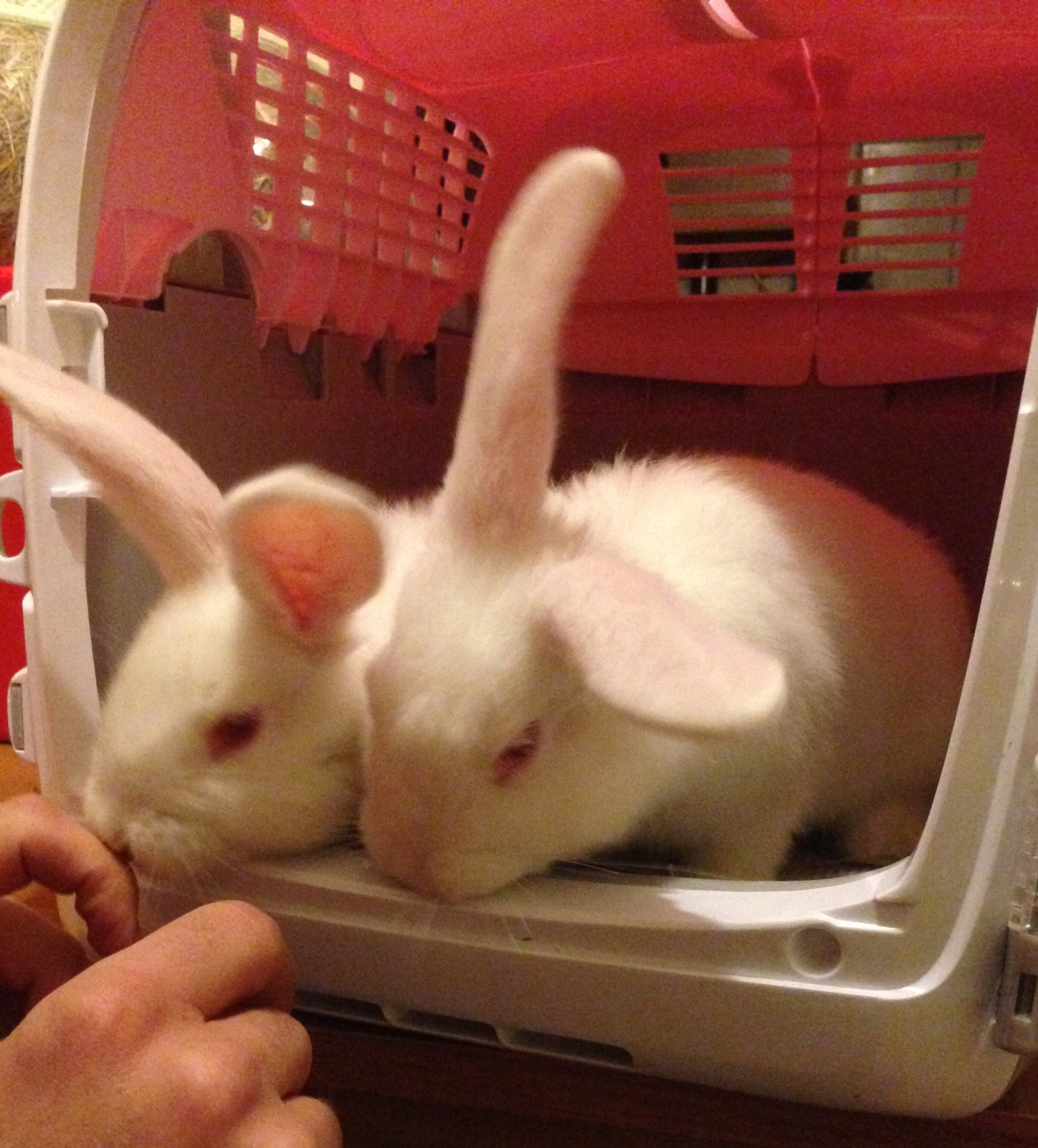 Baby bunnies getting ready for their trip