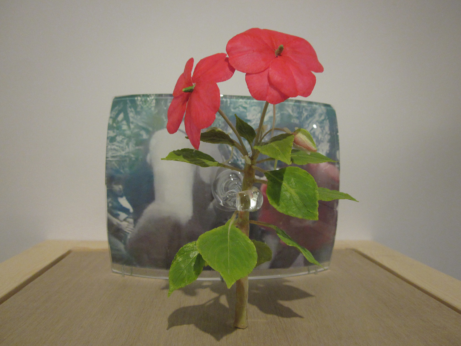 four seminal moments: no. 2 dancing guerrillas, 2013, beeswax plant model, hand blown glass, photo transfer, display case