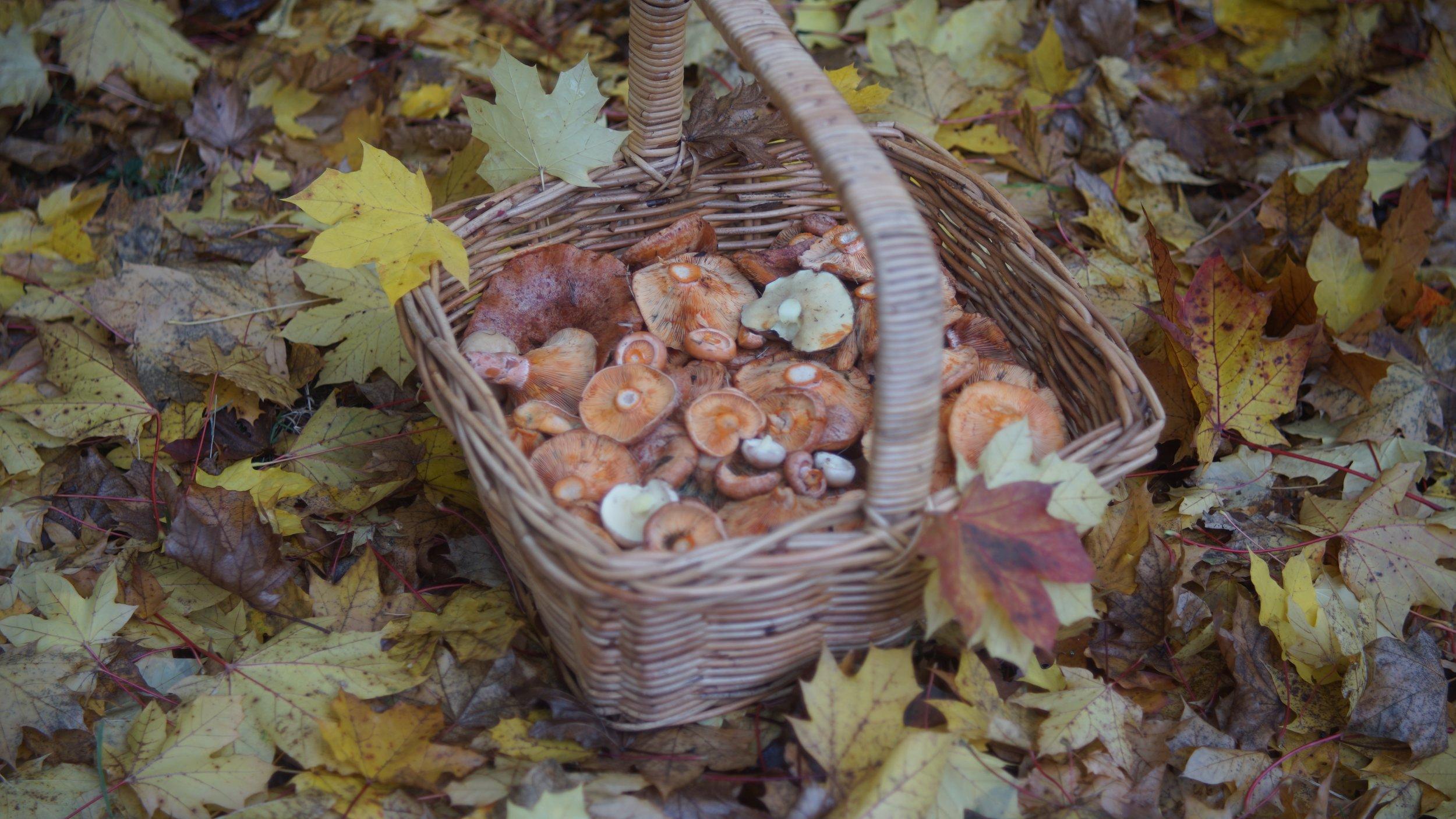 A basket full of pine mushrooms
