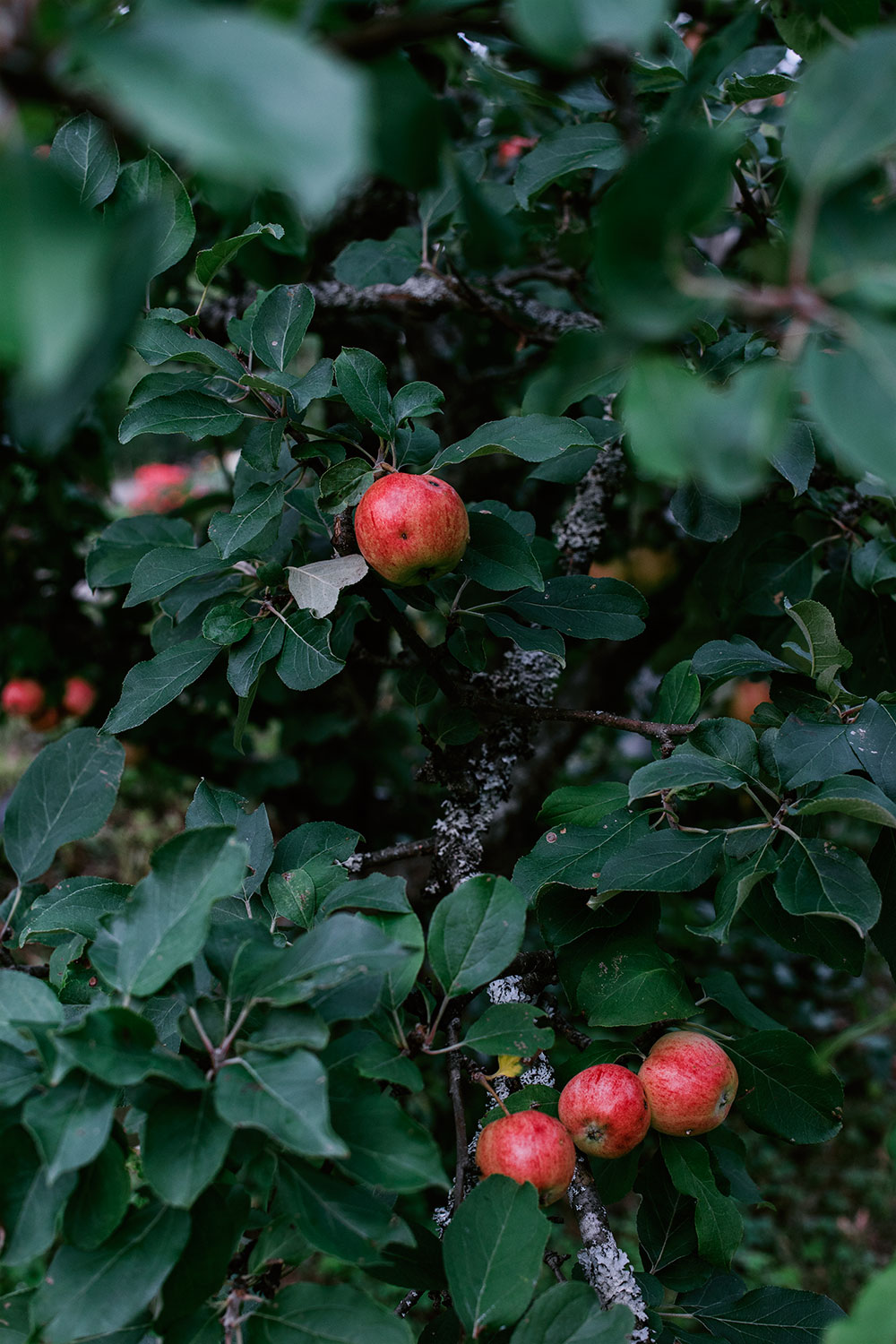 Apple Tree with ripe red apples