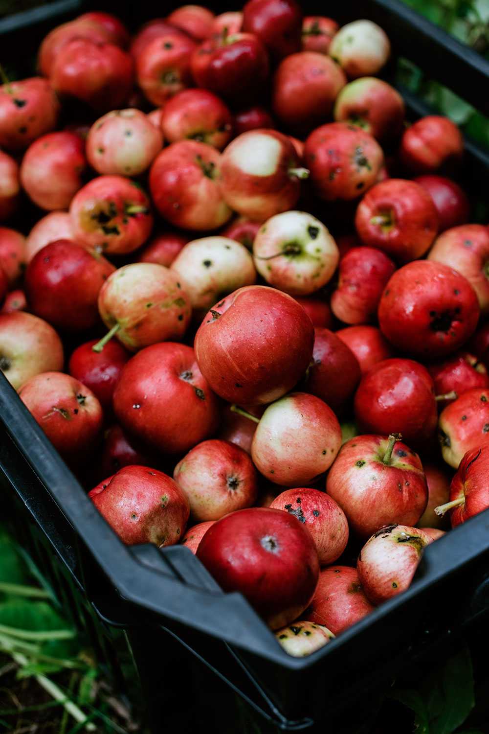 A whole crate of freshly picked apples